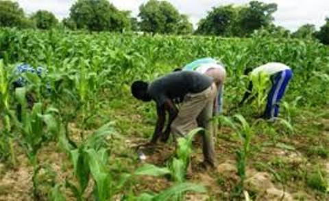 Sécurité Alimentaire : L'OPAM a 60 000 tonnes de céréales en réserve nationale