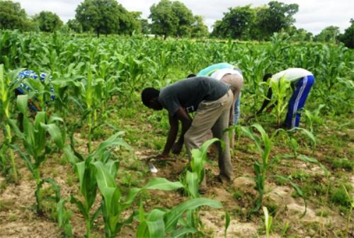 CHANGEMENTS CLIMATIQUES :  425 producteurs formés dans le cercle de Banamba