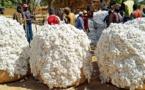 UEMOA : La production de coton estimée à 2.468.547 tonnes