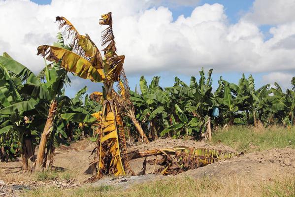 La FAO lance un programme mondial pour contenir une maladie menaçant les bananes
