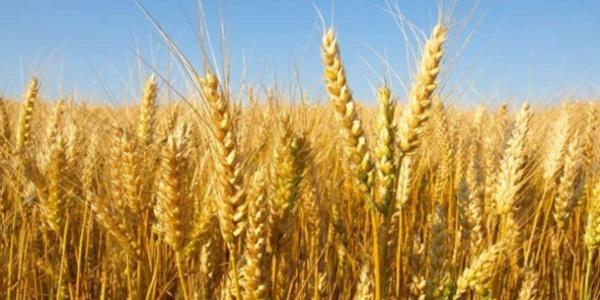 Blé: L'offre mondiale estimée à 1013,3 millions de tonnes