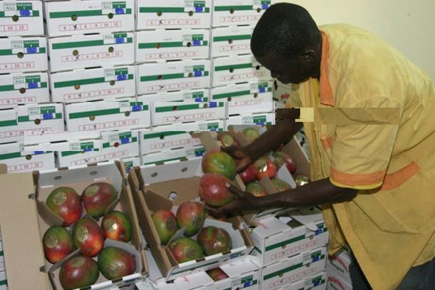 Filière manque au Mali : 15 milliards de FCFA pour 43 000 tonnes exportées