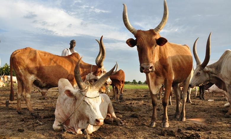 Elevage au Mali : Hausse sur le prix de  l'insémination artificielle