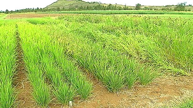 Production de riz : L'offre mondiale en net recul de 0,3%