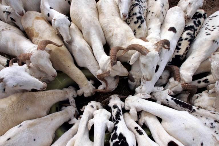 Aliment bétail : Le prix du sac de 50 kg de tourteaux  en hausse