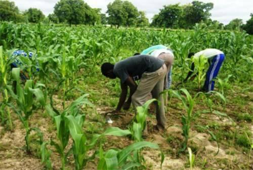 Kadiolo : L'Etat réduit la quantité d'engrais subventionné