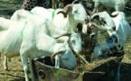 Elevage : L'AMDAROC milite pour l'amélioration des races ovines et caprines