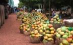 Filière mangue: Des pertes  évaluées à 507,5 millions de FCFA en 2017