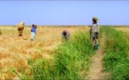 Production de riz : L'offre mondiale en hausse pour la campagne 2017-2018