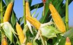 Production de Maïs : Baisse attendue pour la campagne 2018