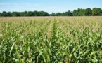 Production de maïs : 1068,3 Millions de tonnes  pour la campagne 2018-2019
